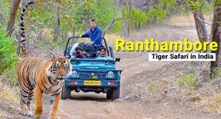 GETTING THE BEST OUT OF RANTHAMBORE TIGER SAFARI