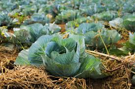 Choose online Cabbage suppliers from USA based reputed store