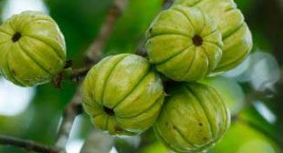 Use Garcinia Cambogia To Lose Unwanted Belly Fat
